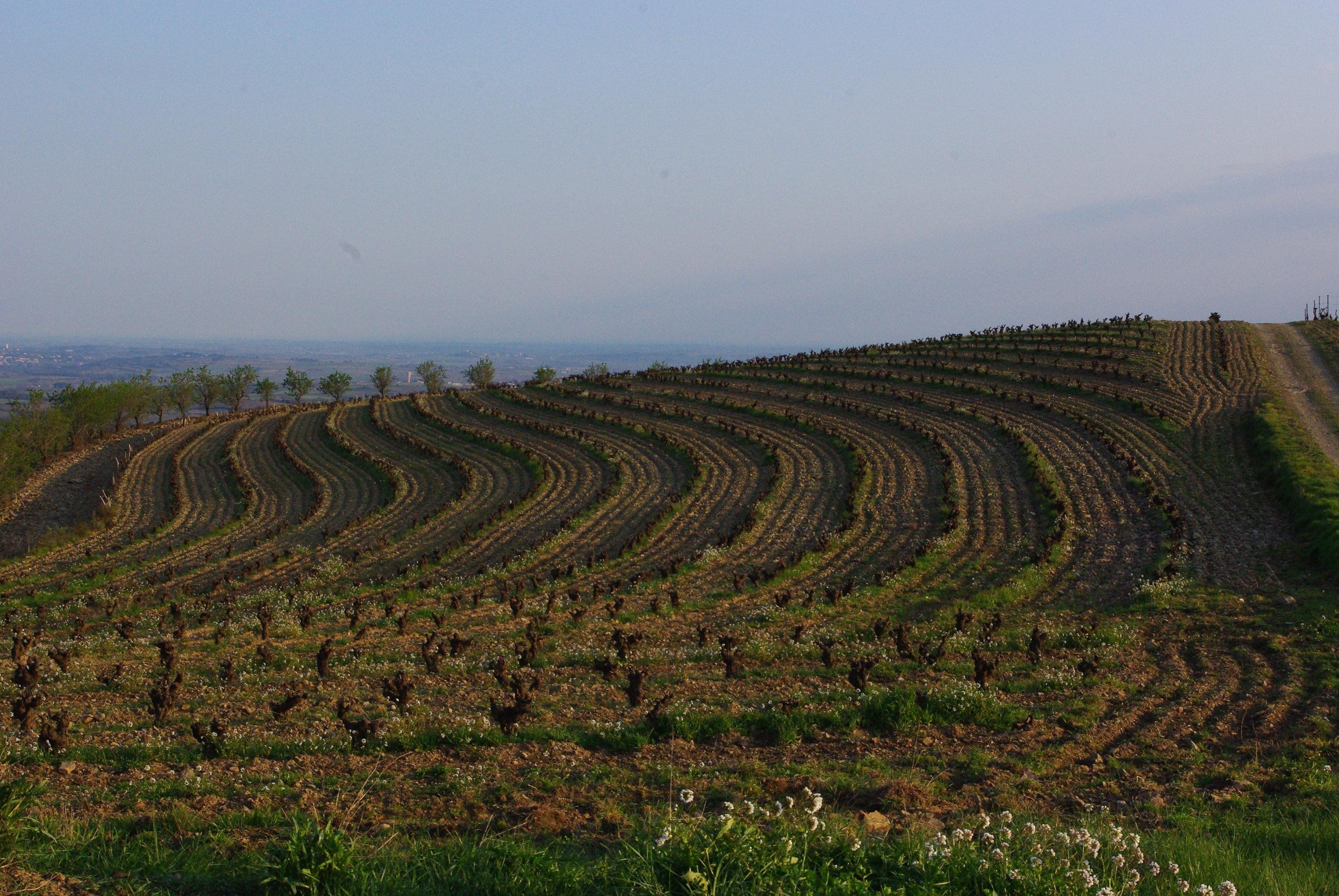 vignes à Faugères