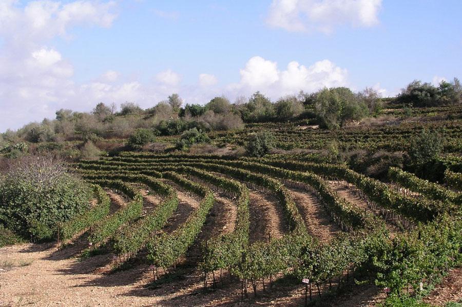 Shoresh Vineyard, producing grapes for Tzora vineyards